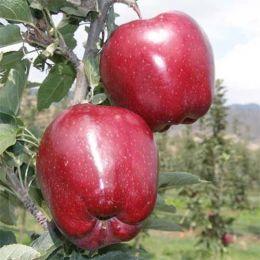 Яблоня Супер Чиф фото
