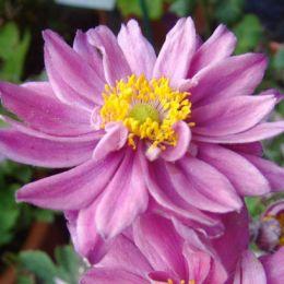 Анемона Mont Rose фото