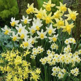 Нарцисс Мелкоцветковый Микс фото