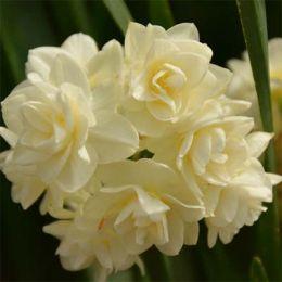 Нарцисс таццета Erlicheer фото