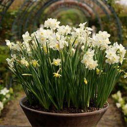 Нарцисс Thalia (горшок 9 см) фото