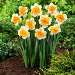 Нарцисс Orangery фото