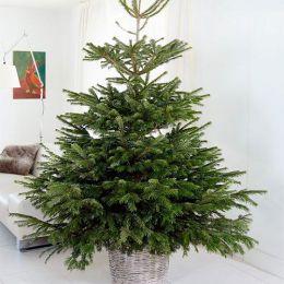 Новогоднее дерево Nordmann 'Excellent' 100-125 см фото