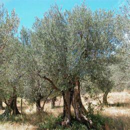 Олива европейская фото