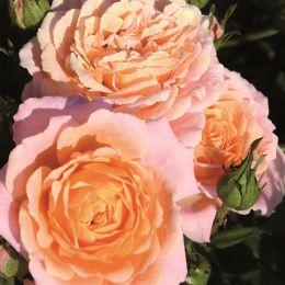 Роза Peach Clementine фото