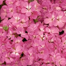 Пеларгония Multibloom Pink фото