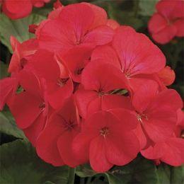 Пеларгония Multibloom Red фото