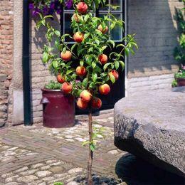 Персик колоновидный фото