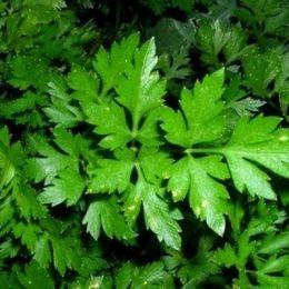 Петрушка ароматная (листовая) фото
