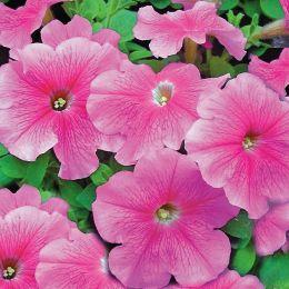 Петуния Розовая с прожилками F2 фото