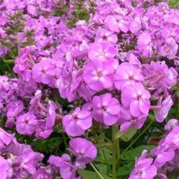 Флокс Flame Lilac фото