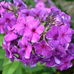 Флокс The King Violet Blue фото