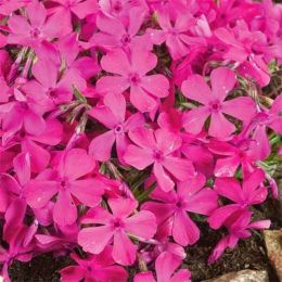 Флокс Drummond Pink фото