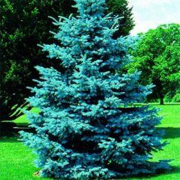 Ель колючая Glauca Majestic Blue фото