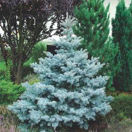 Ель колючая Super Blue Seedling фото