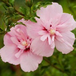 Гибискус сирийский Pink Chiffon фото