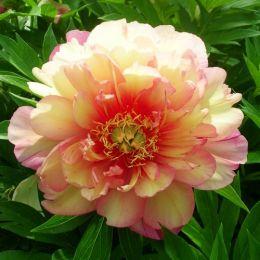Пион ITOH Julia Rose фото