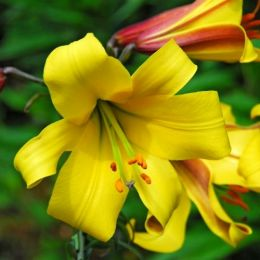 Лилия Golden Splendor фото
