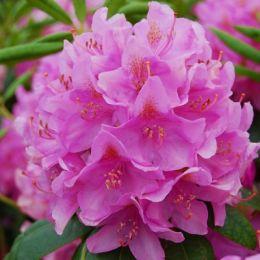 Рододендрон Roseum Elegans фото