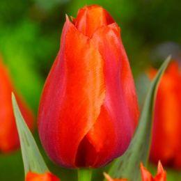 Тюльпан Сasa Grande фото