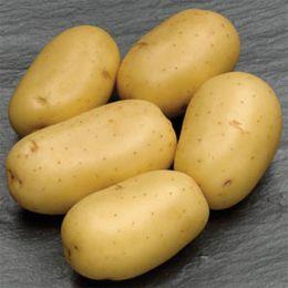 Картофель Carrera фото