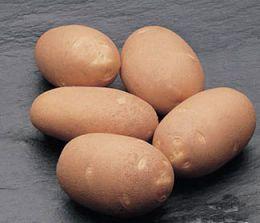 Картофель Innovator фото