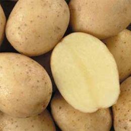 Картофель Latona фото