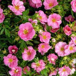Лапчатка Pink Paradise фото