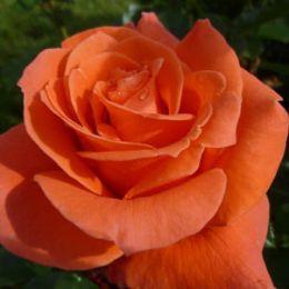 Роза Prinsesse Marie  фото