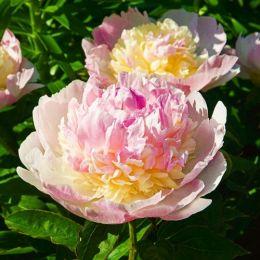 Пион Raspberry Sundae фото