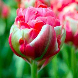 Тюльпан Renown Unique фото