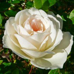 Роза Schneewittchen  фото