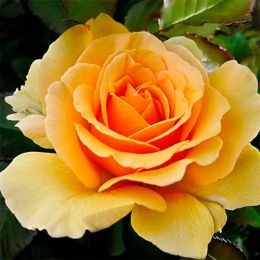 Роза Amber Queen фото