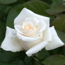 Роза Anastasia фото
