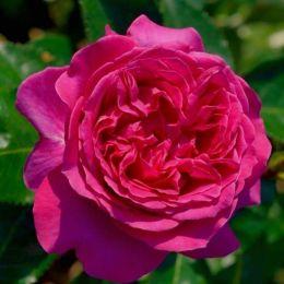 Роза Bernadette Lafont фото