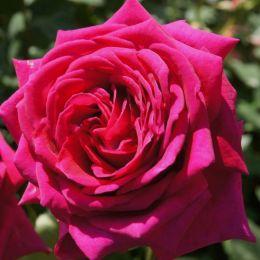 Роза Big Purple  фото