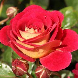 Роза Die Sehenswerte фото