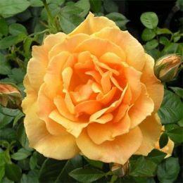 Роза Easy Going фото