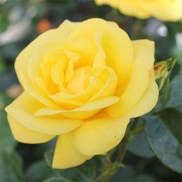 Роза Emile Nolde фото