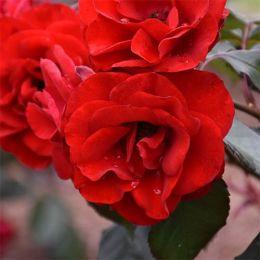 Роза Europeana фото