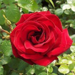 Роза плетистая Grand Hotel фото
