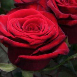 Роза Grand Prix фото