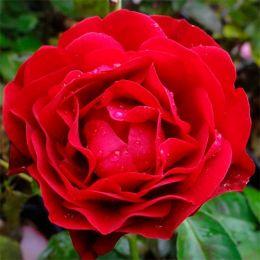 Роза King Arthur фото