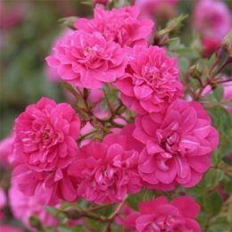 Роза Knirps фото