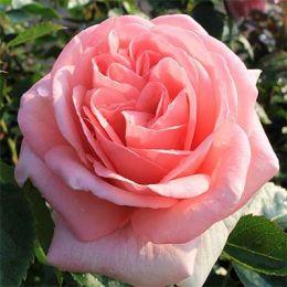 Роза La Fontaine Aux Perles фото