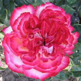 Роза Mauritius фото
