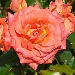 Роза Orford Castle фото