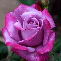 Роза Paradise фото