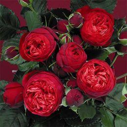 Роза Piano фото