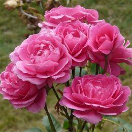 Роза Pink Cloud фото